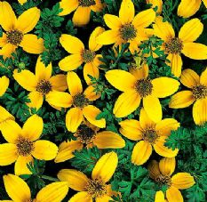 Bidens Golden Eye - Hanging basket variety - 30 seeds